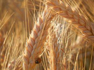 Getreide vom Naturland-Biobetrieb